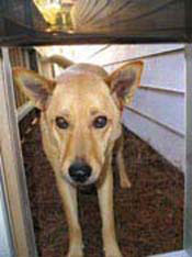 Blonde shepherd mix dog looking through dog door